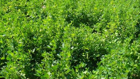 Claves para una siembra eficiente de la Alfalfa